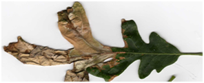 Diseased tree leaf
